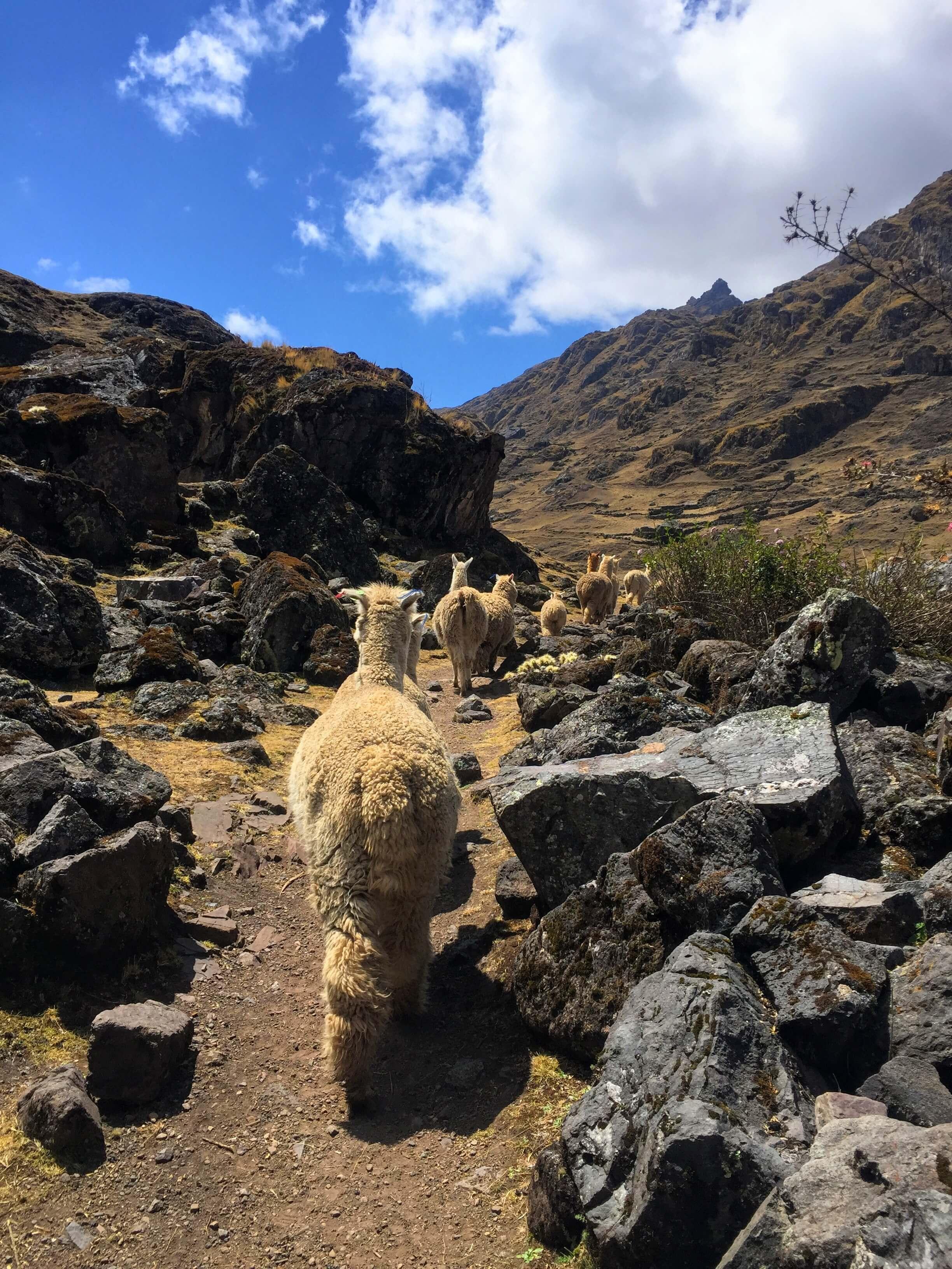 alpacas on the Kinsa Cocha hike