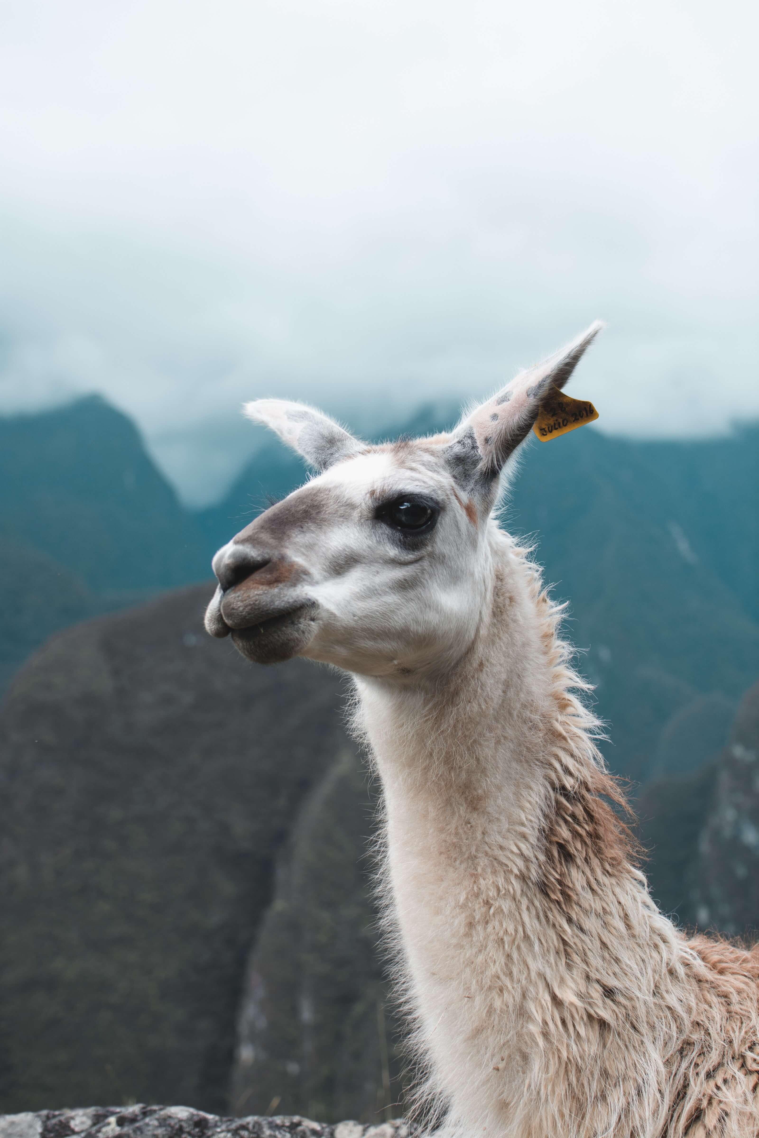 Llama at Machu Picchu in Peru