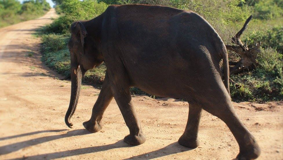 Elephant in Uda Walawe National Park