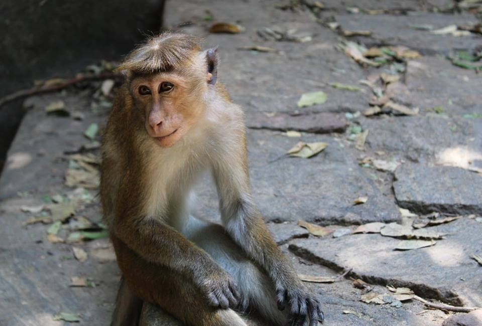 monkey in Sri Lanka's cultural triangle