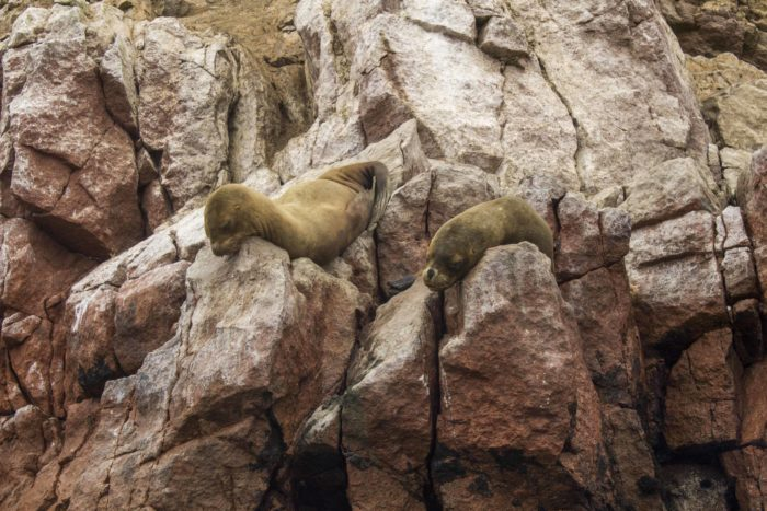sea lions on rocks in the islas ballestas
