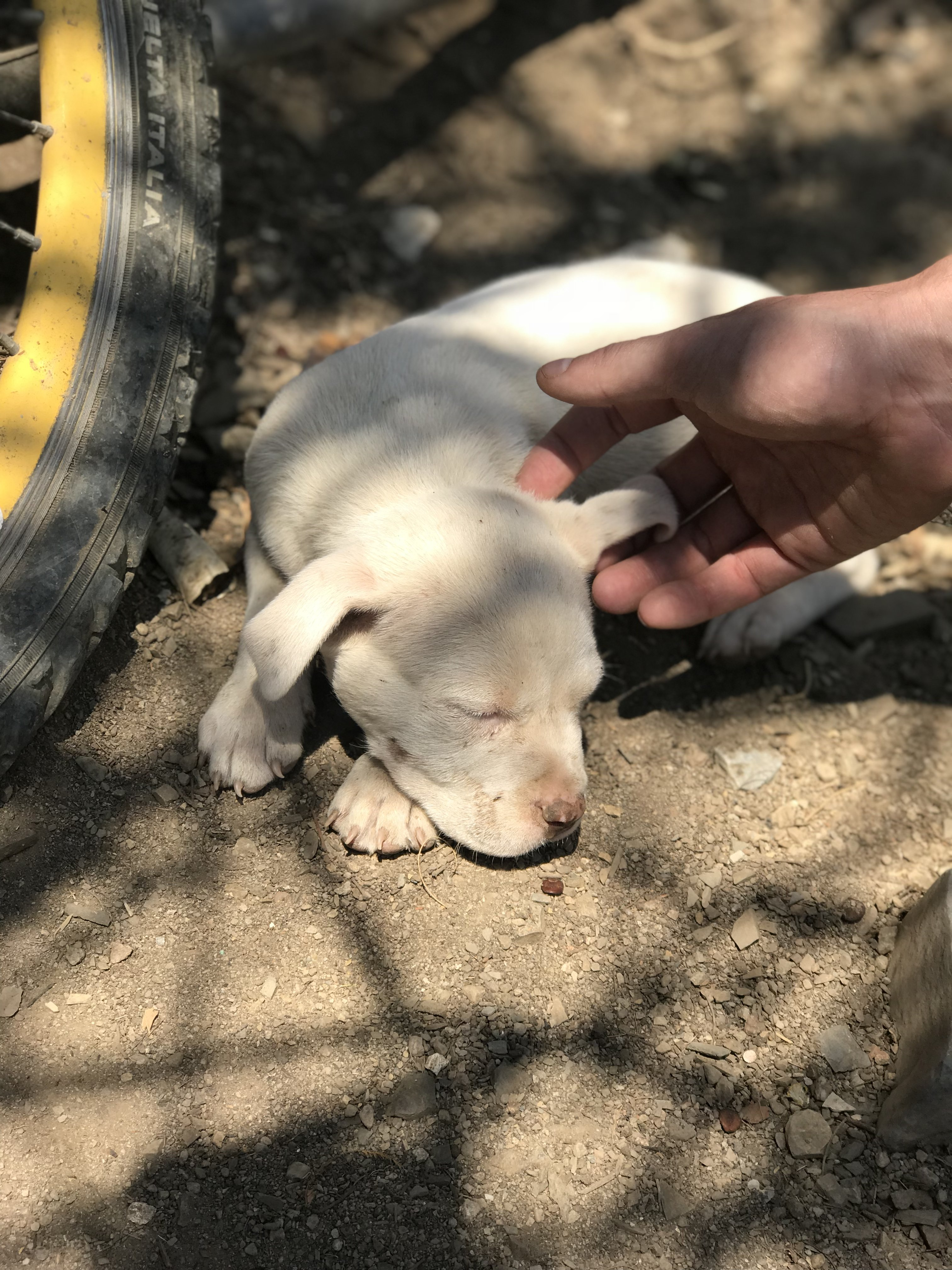 puppy in Taxco