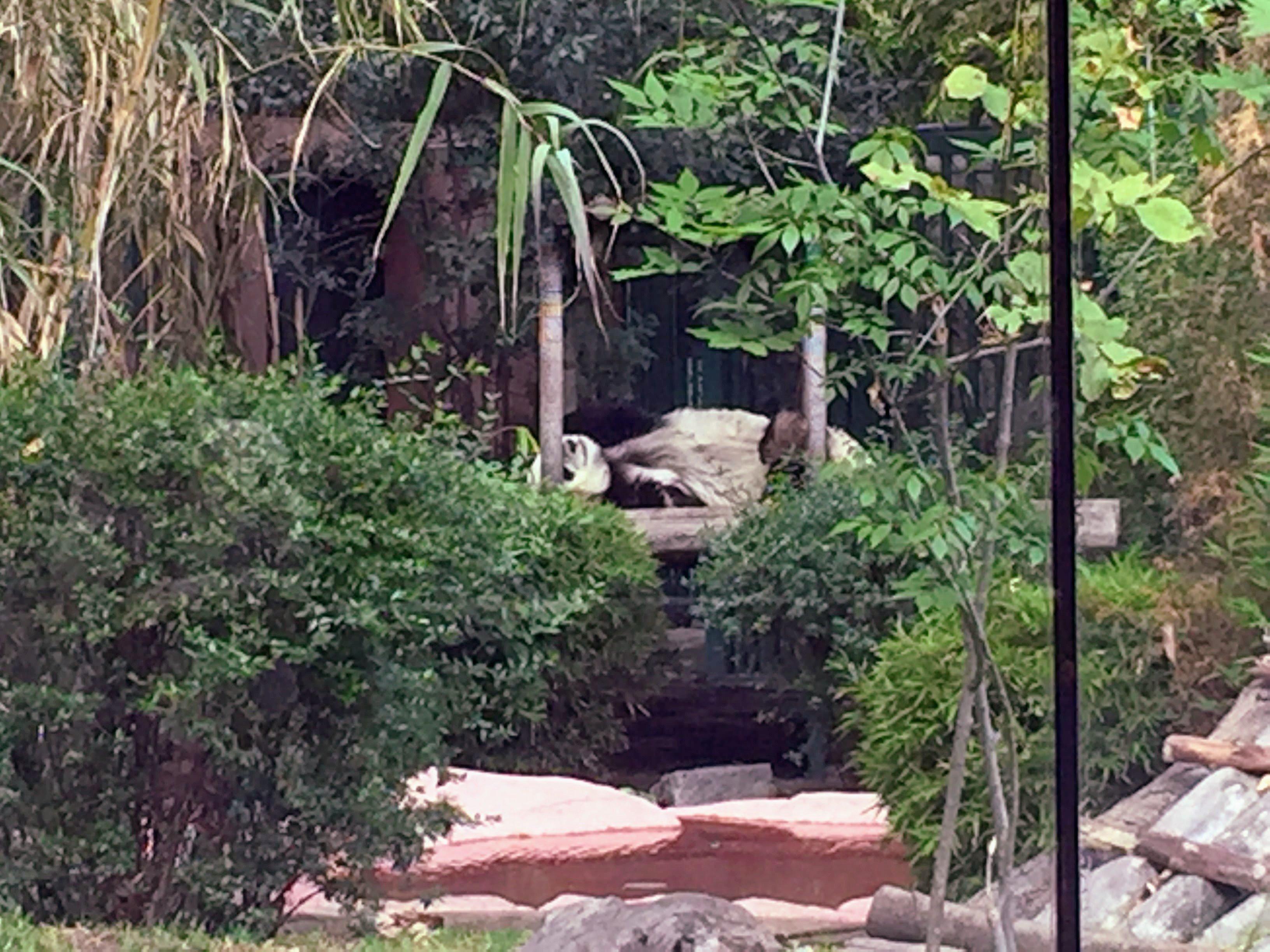 pandas at the zoo in Chapultepec Park