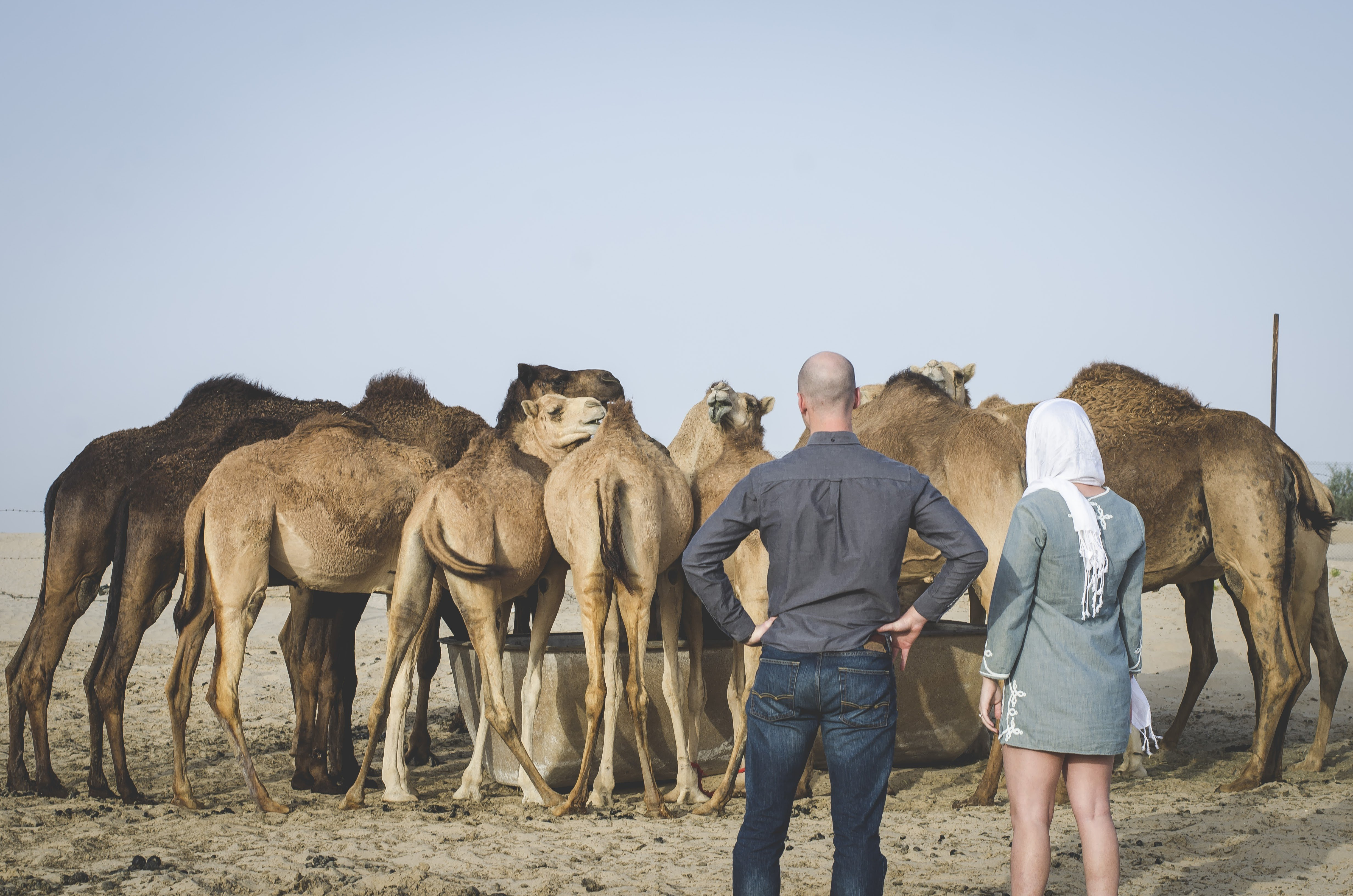 couple with a group of camels in the UAE