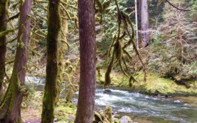 Old Salmon River Trail: An Easy Hike in Mount Hood National Forest