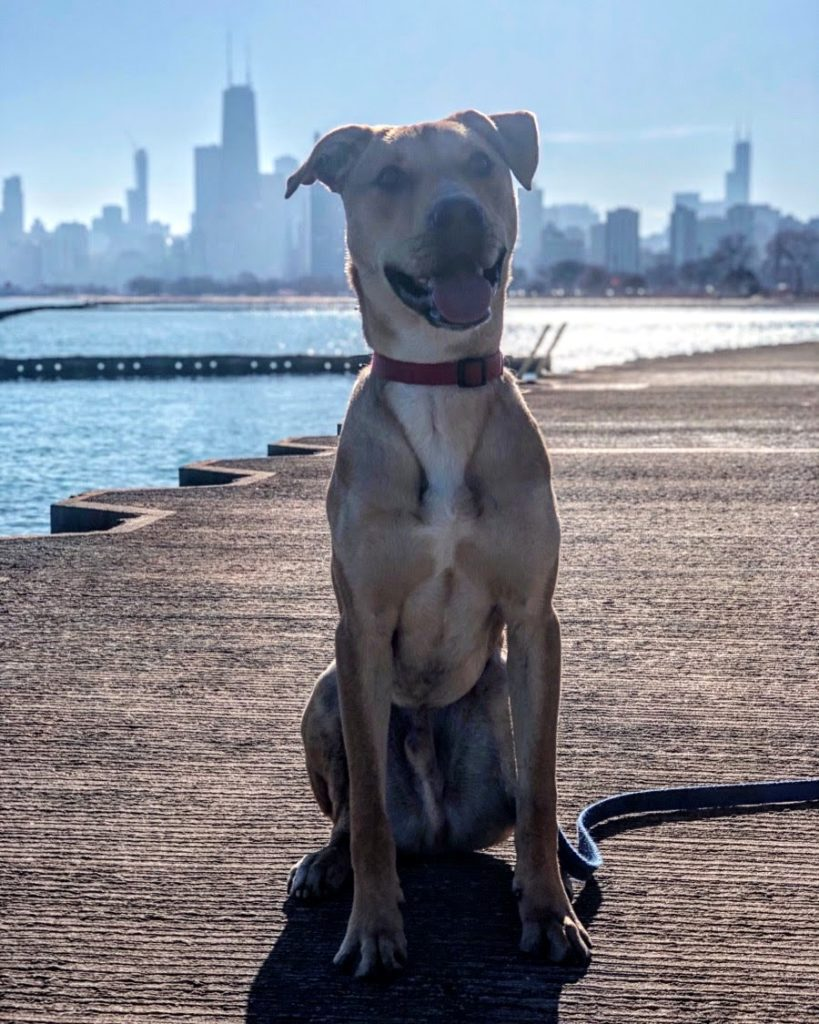 dog in front of Chicago skyline
