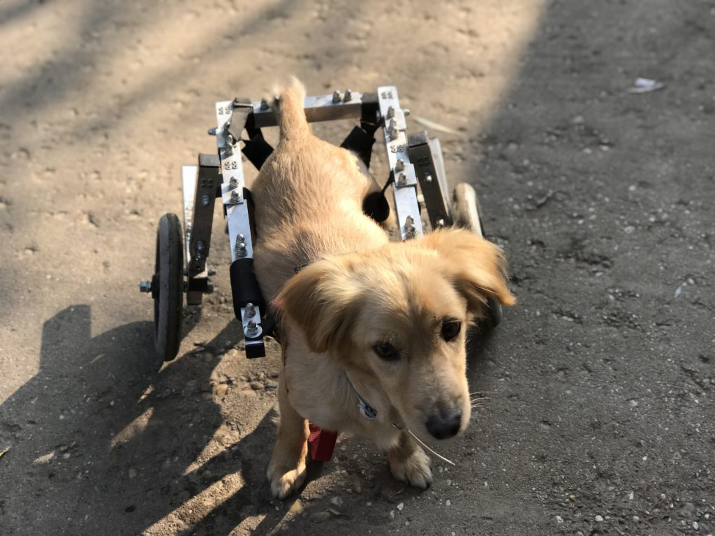 puppy in a wheelchair