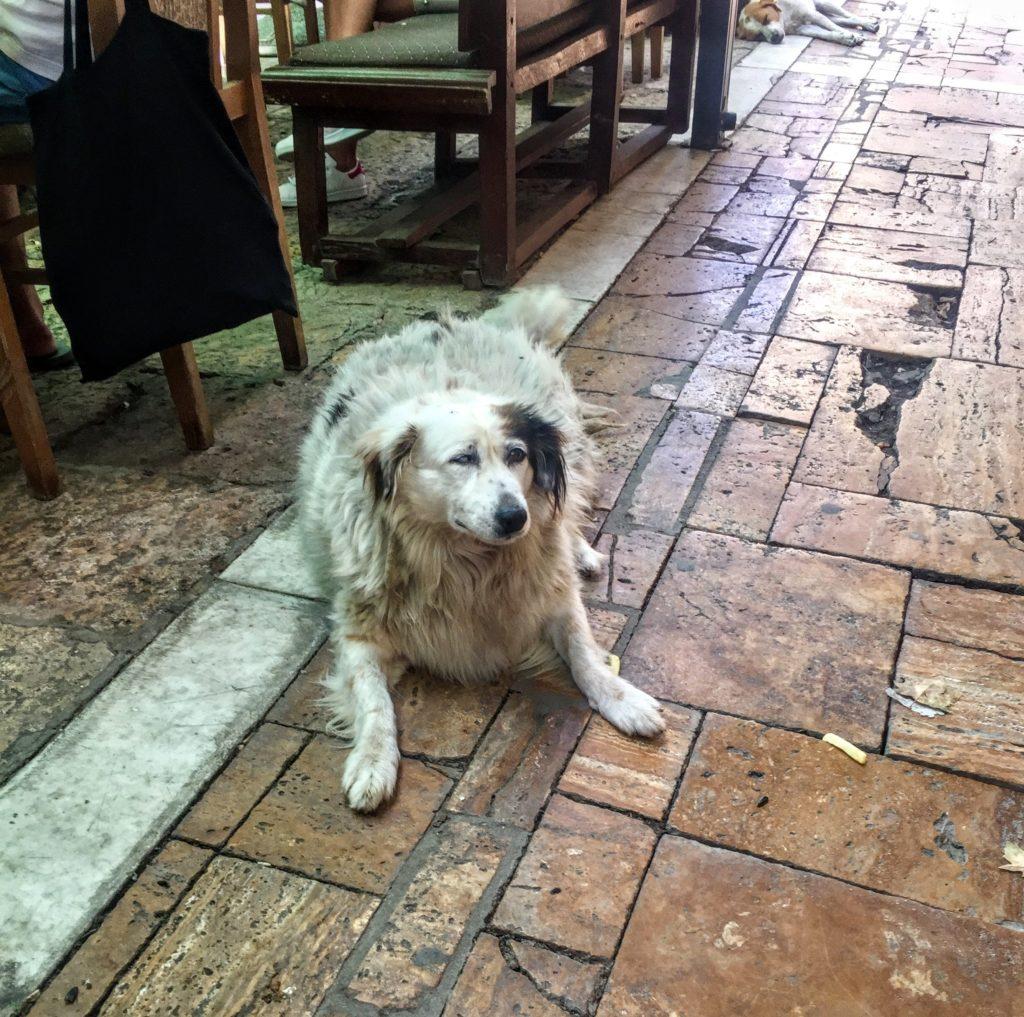 fat street dog in Skopje