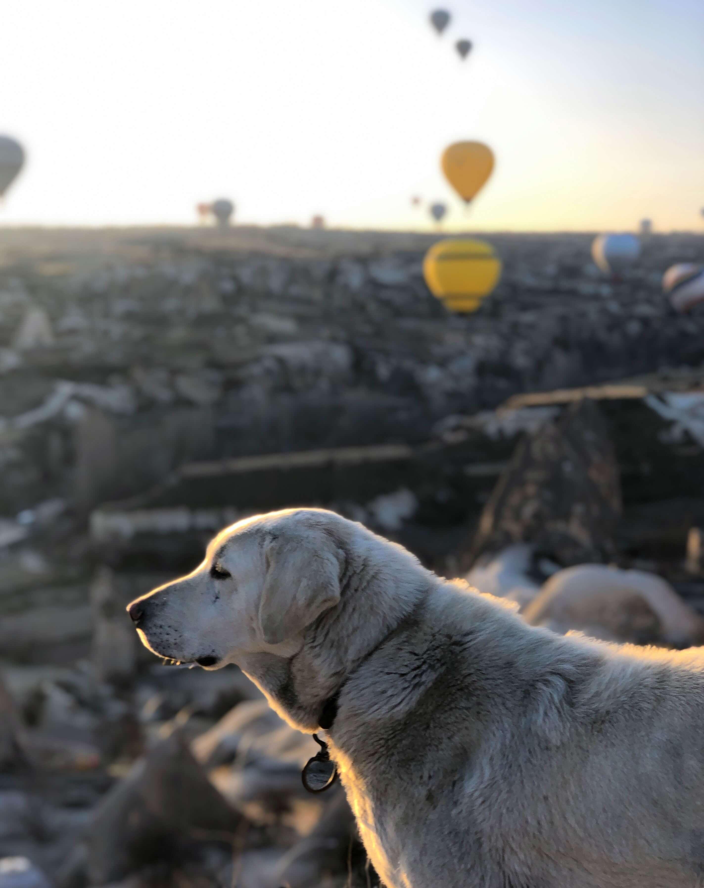 dog with hot air balloons in Cappadocia