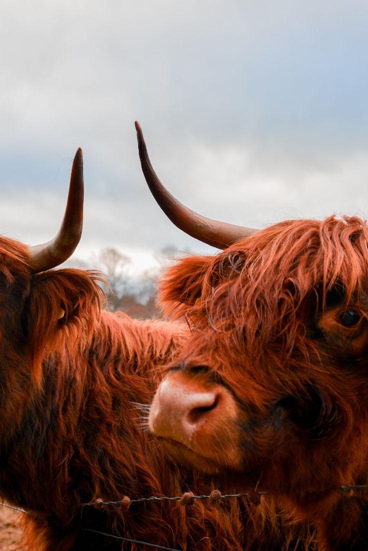 Fuzzy Scottish highland cows