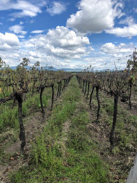 Rancho Toyan vineyard