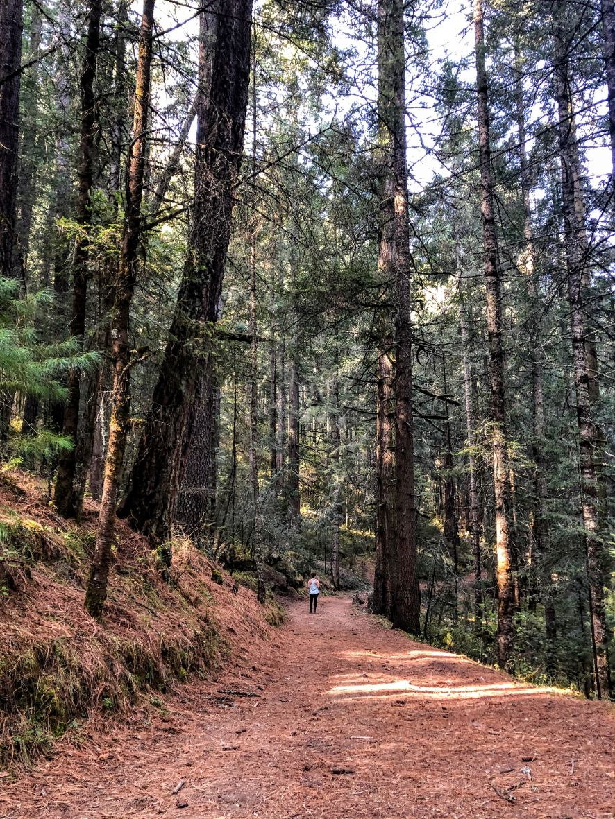 woman hiking in distance on brown trail with tall pine trees
