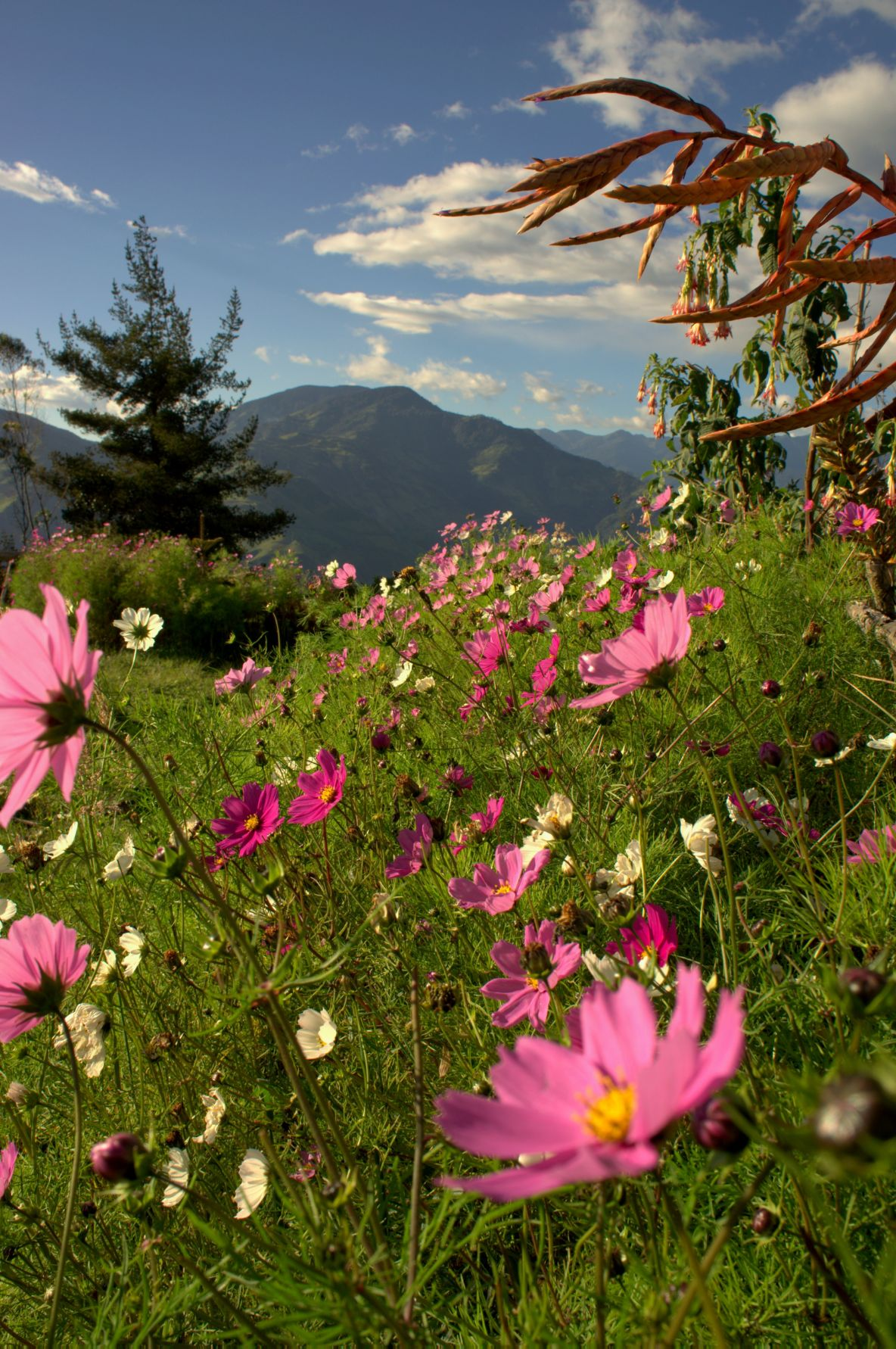 Mountain and flowering field in Banos, Ecuador