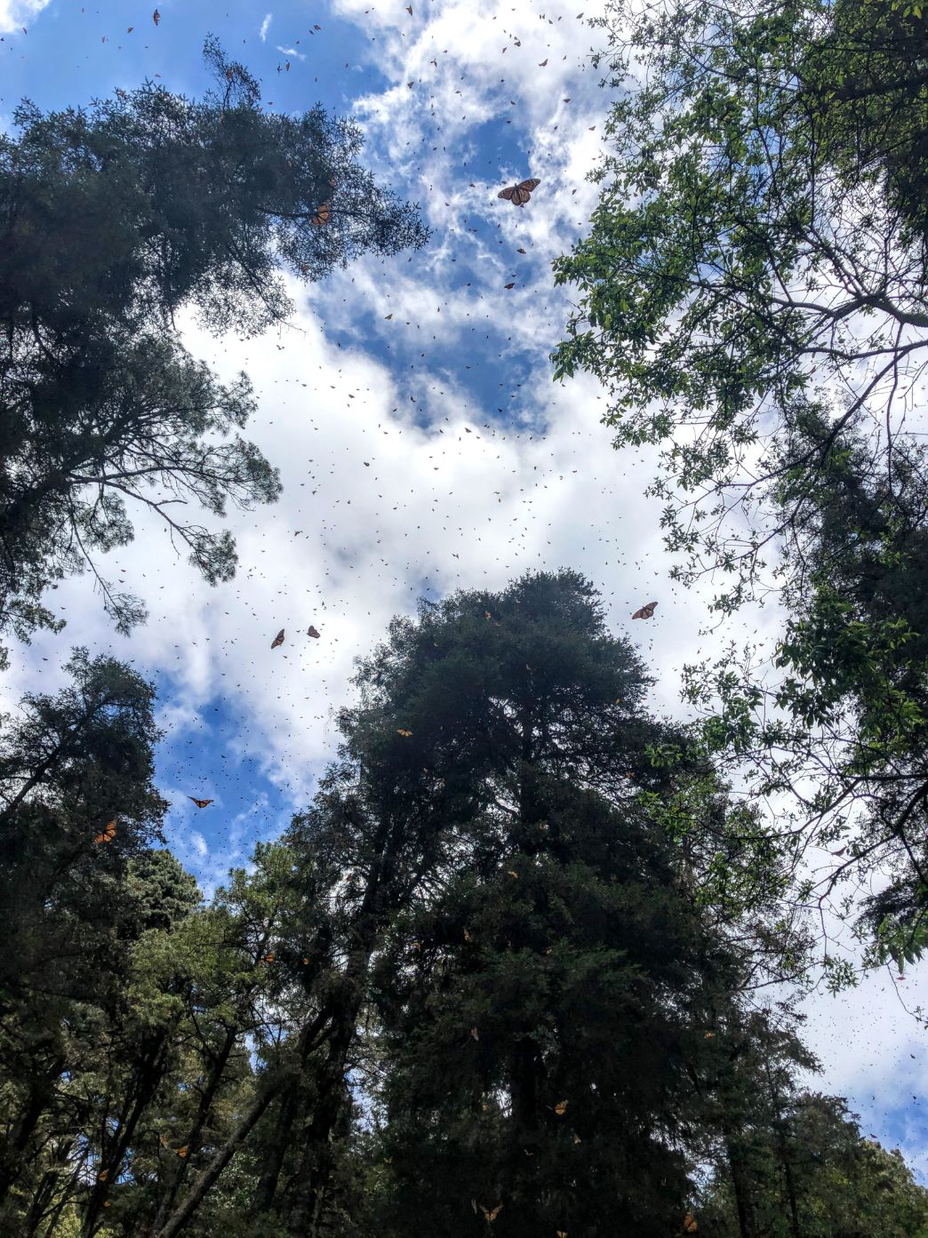 monarch butterflies flying among trees and blue skies at Cerro Pelon forest
