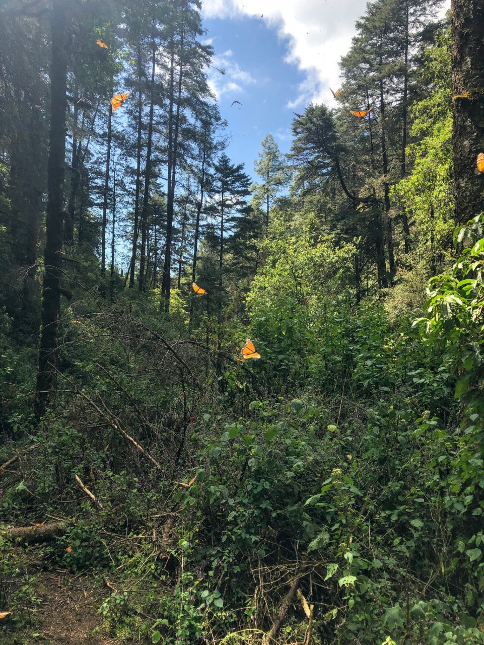 monarch butterflies in the forest at Cero Pelon
