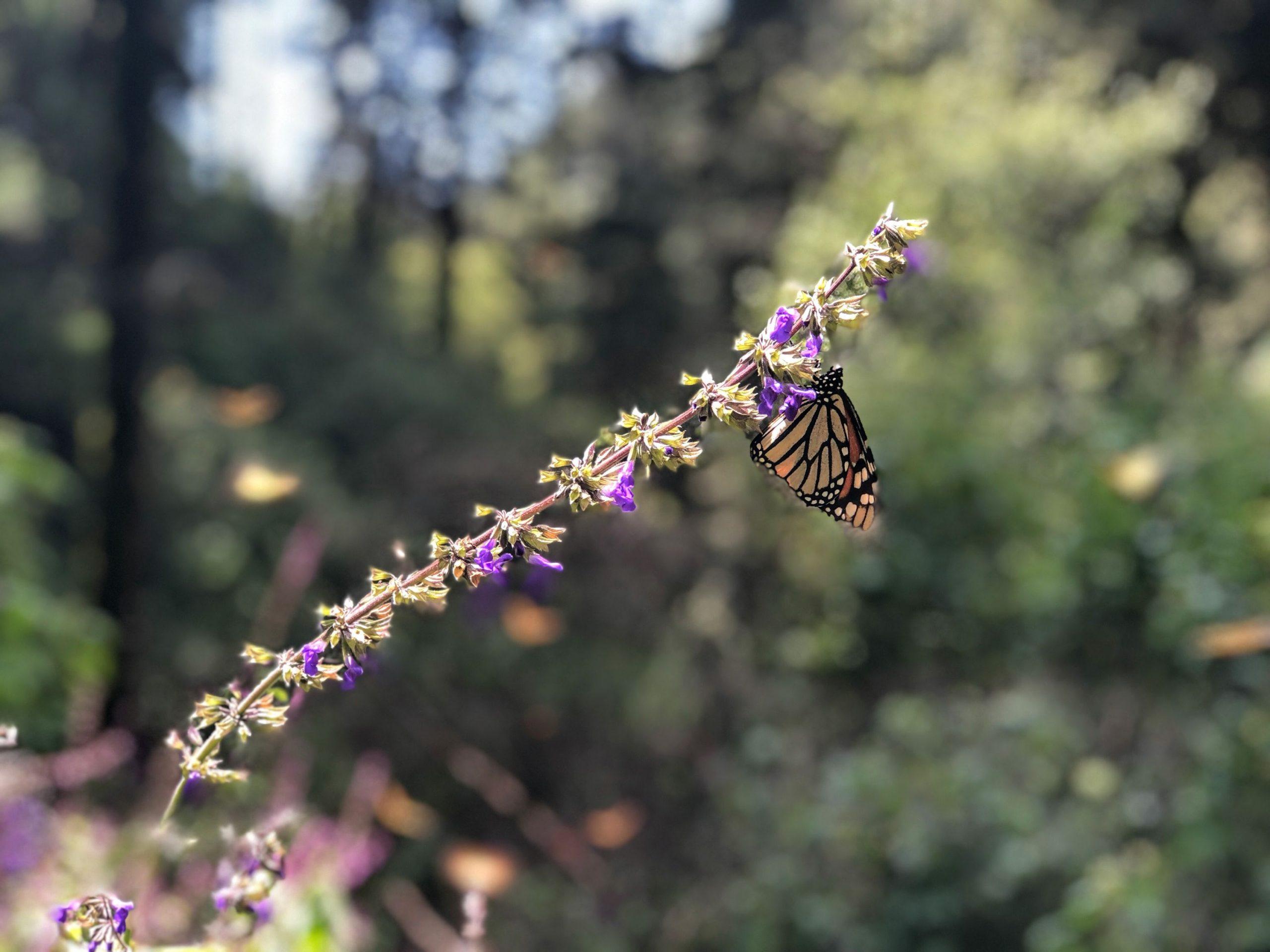 single monarch butterfly resting on a purple flower