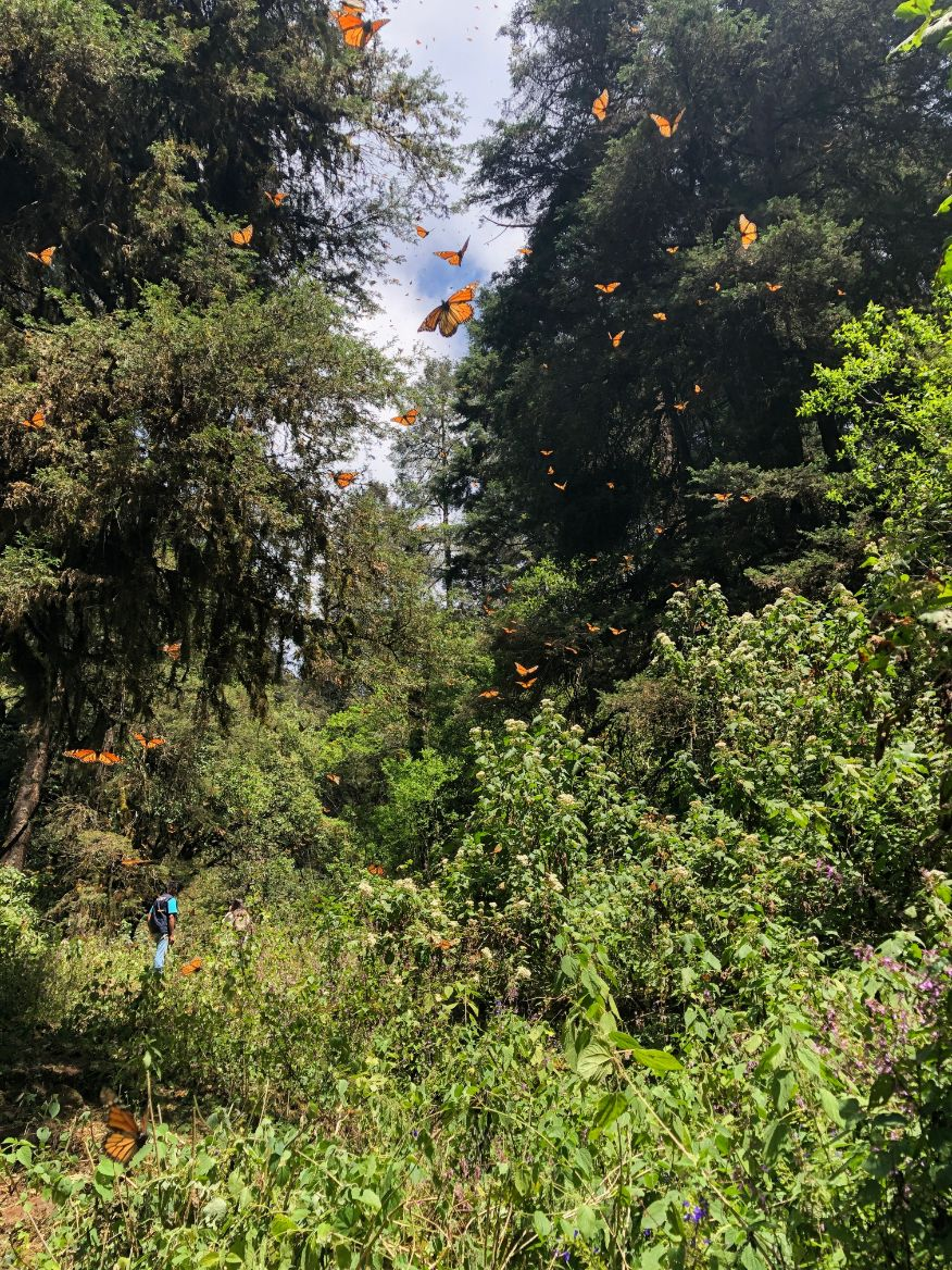 monarch butterfly migration in Mexico