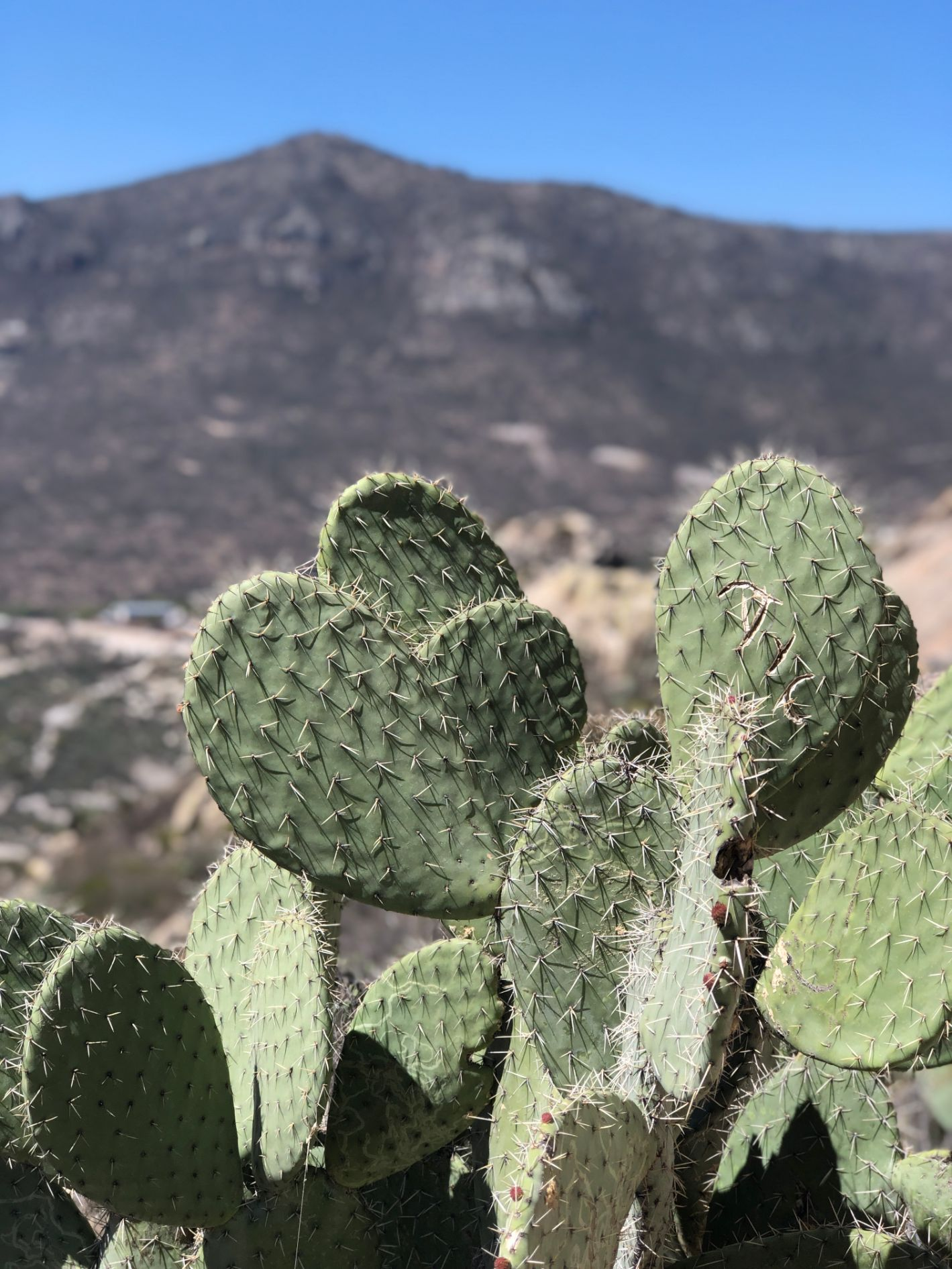 cactus and brown mountain in distance
