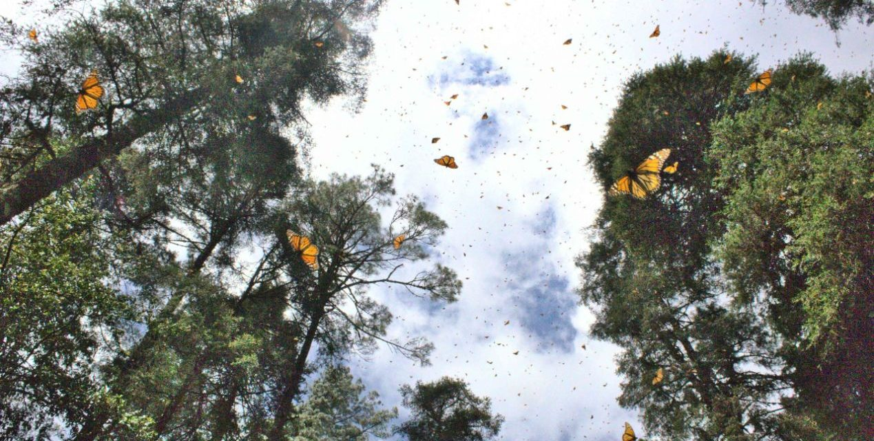 How to See the Monarch Butterfly Migration in Mexico