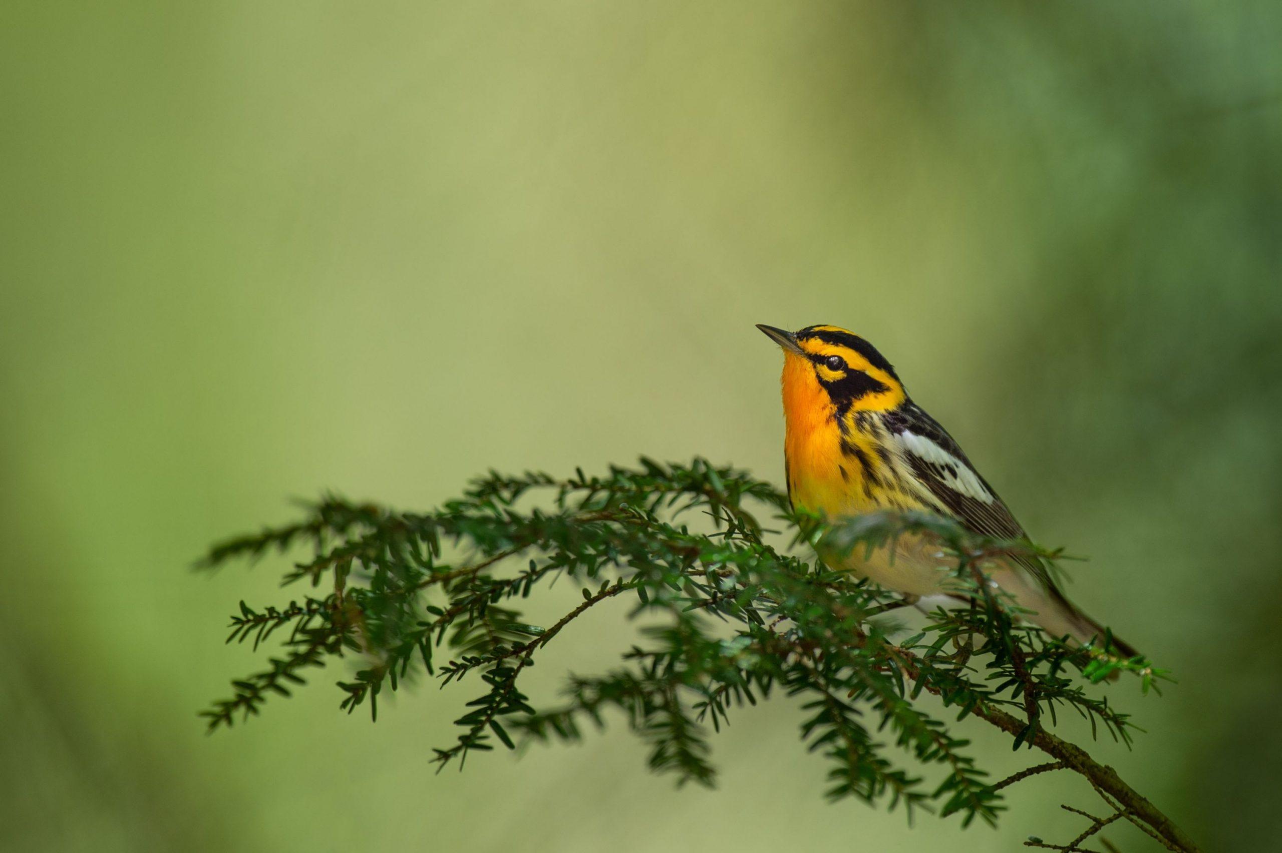 close up of an orange Warbler bird on a branch