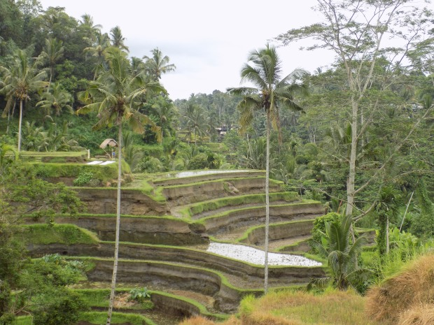 Tegalalang rice terraces in Indonesia