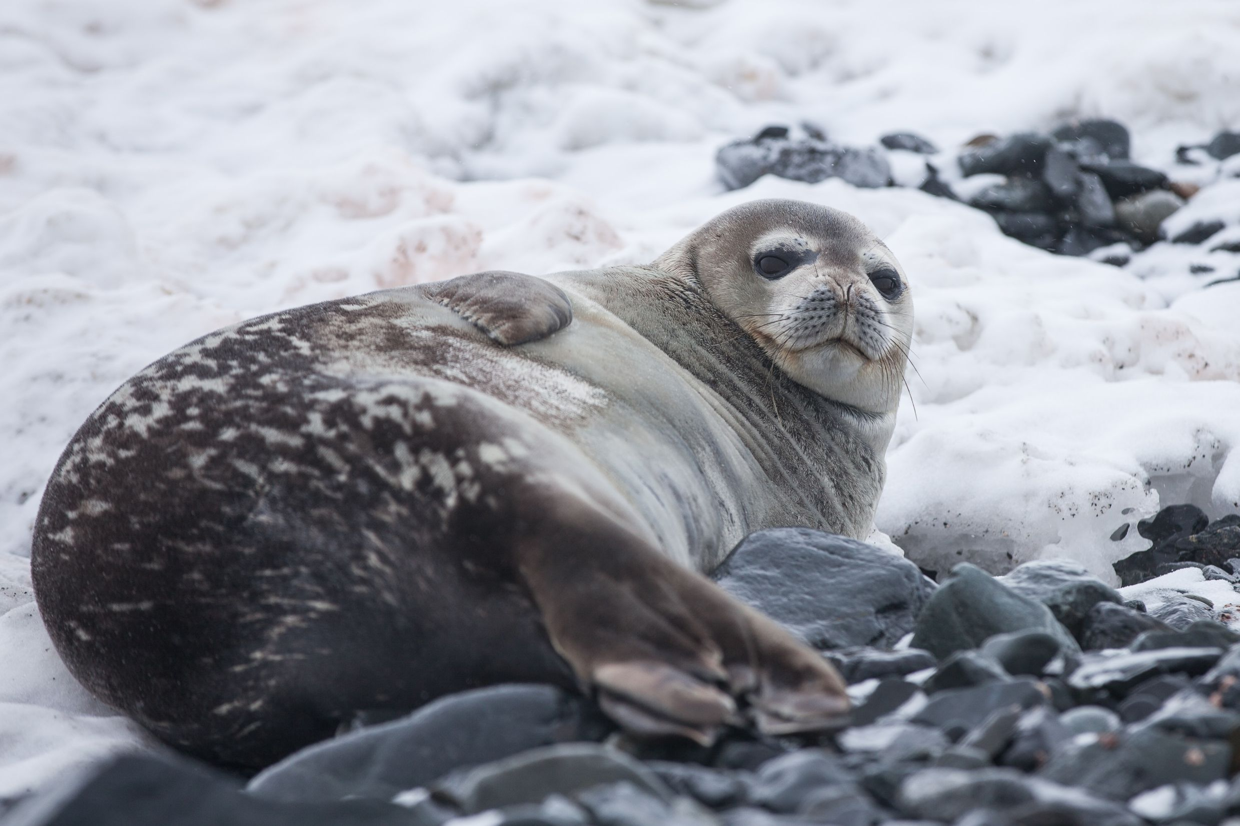 seal lounging on a rocky ice shelf